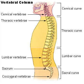 vertebral_column_chiropractor_fort_myers