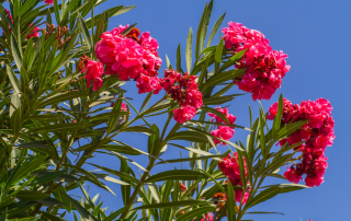 oleander allergies fort myers