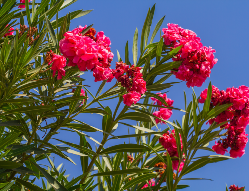 Oleander – Colorful, Vibrant, and Irritating to Many