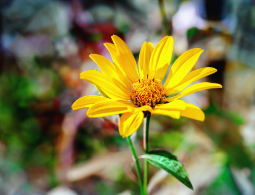 Extolling the Virtues of Arnica Montana for Bruising and Muscle Soreness